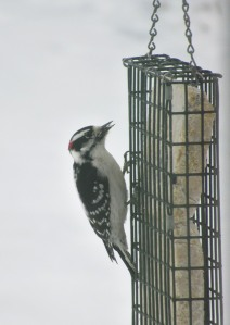 The Author Chronicles, Top Picks Thursday, J. Thomas Ross, downy woodpecker on suet feeder