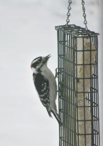 The Author Chronicles, Top Picks Thursday, J. Thomas Ross, downy woodpecker on suet feeder