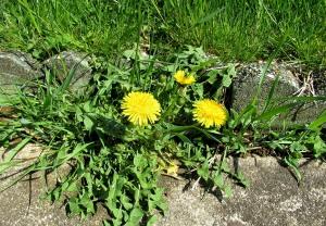 The Author Chronicles, Top Picks Thursday, J. Thomas Ross, dandelions, spring