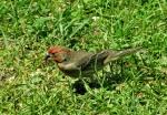 04-29 – blog – housefinch