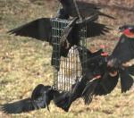 3-25 blog – blackbirds fighting oversuet