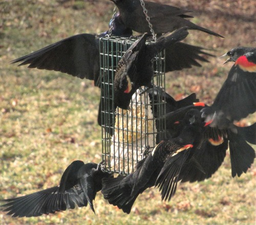 The Author Chronicles, Top Picks Thursday, J. Thomas Ross, red-winged blackbirds, suet feeder, spring