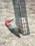 3-25 blog – red-belliedwoodpecker