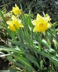 3-25 blog – yellowdaffodils