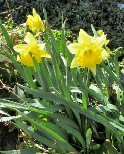 The Author Chronicles, Top Picks Thursday, J. Thomas Ross, yellow daffodils