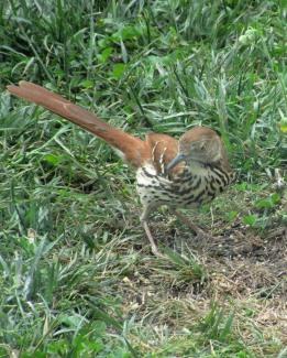 05-27 - blog - brown thrasher