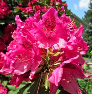05-27 - blog - red rhododendron flowers